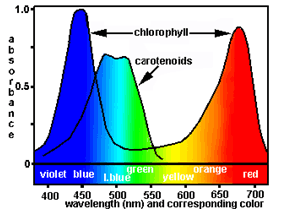 What Colors Of Light Does Chlorophyll Absorb