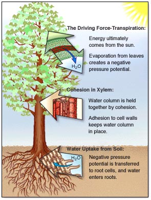 figure showing water cycle of a tree. Evaporation from the leaves creates a negative pressure potential, which is transferred to the roots that uptake water. Water is held together and to the tree via cohesion and adhesion.