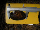 measuring length of a freshwater mussel