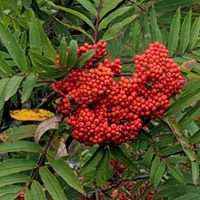 mountain ash fruit