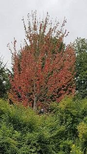 red maple galileo's
