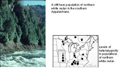 a cliff-face population of northern white cedar in the southern Appalachians; levels of heterozygosity in populations of norther white cedar