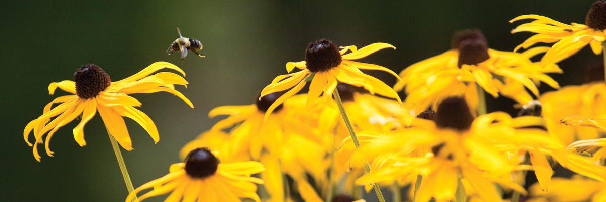 blackeyed susan flowers